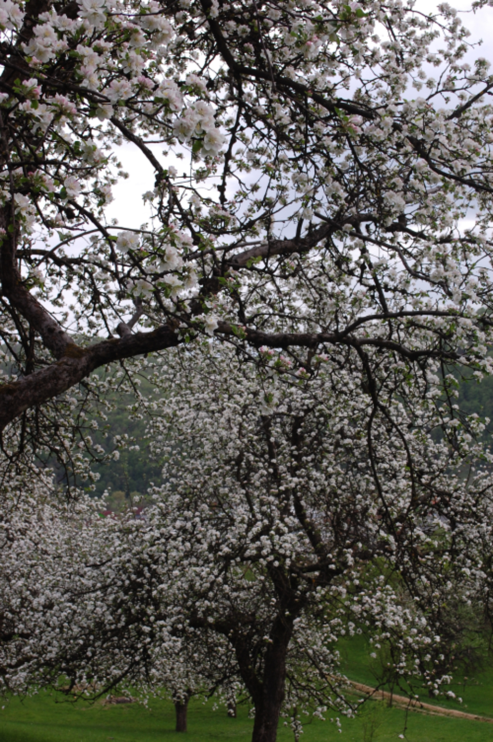 blooming tree flowers nature forest spring white petals yellow