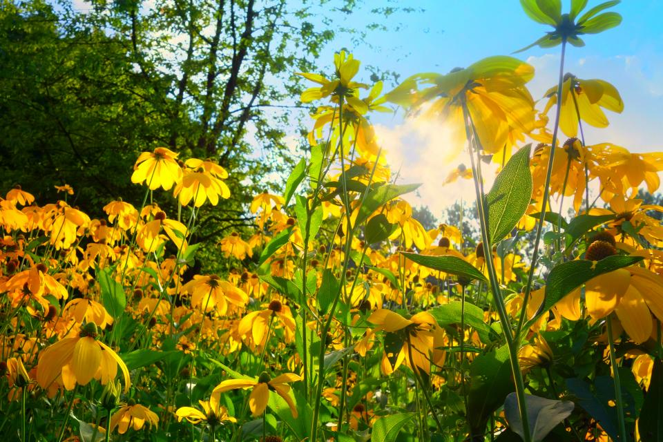 flowers garden yellow green leaves summer sunrise sunshine sunlight trees plant nature sky cloud
