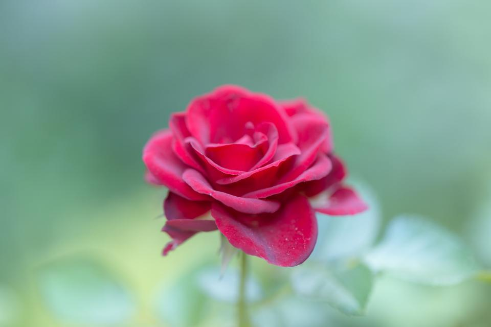 red rose petal flower bloom plant nature blur