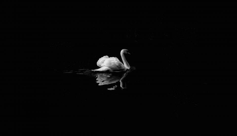 black and white dark swan duck bird animal swimming water reflection