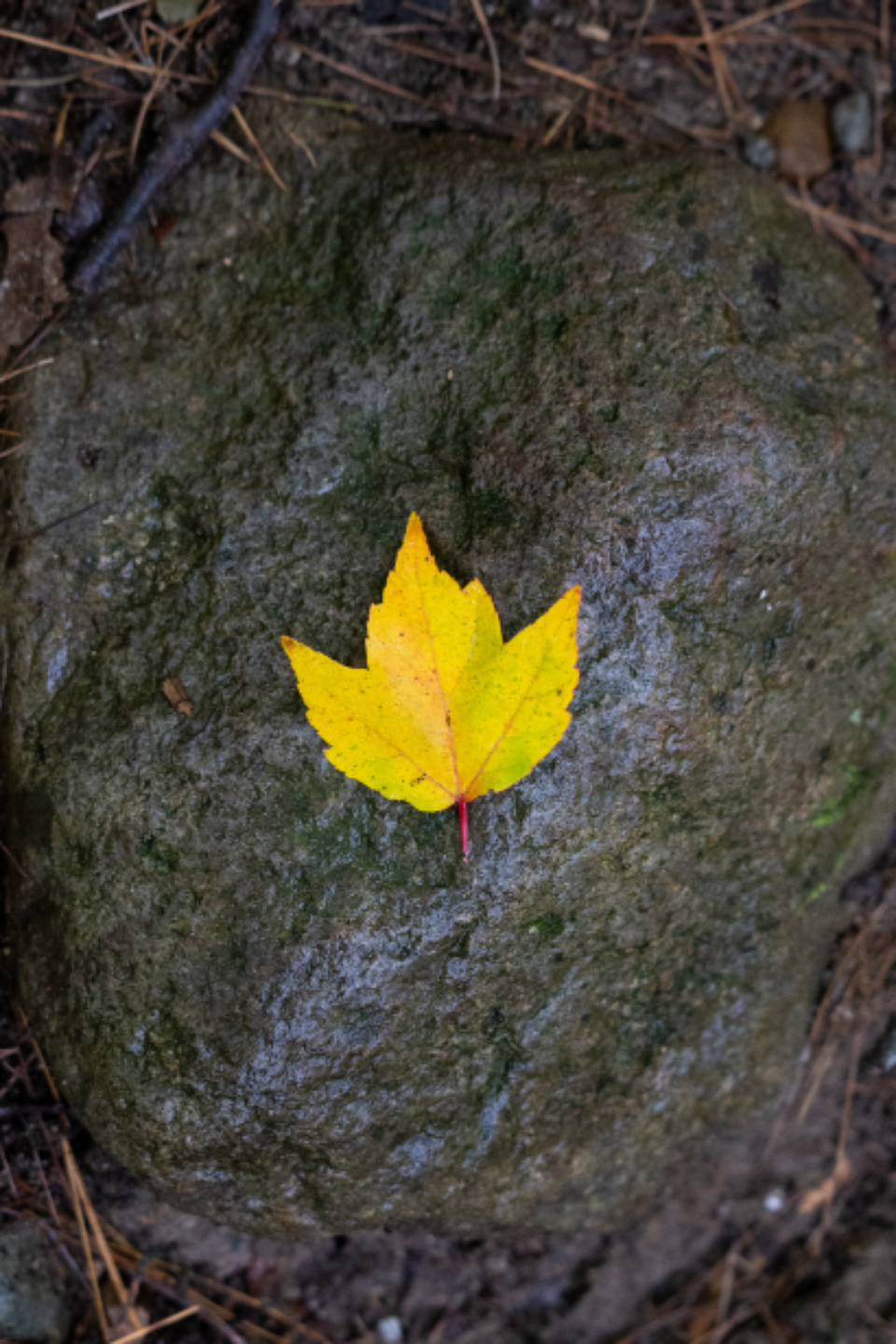 lone autumn leaf fall foliage trees rocks rain wet nature outdoors hiking yellow maple