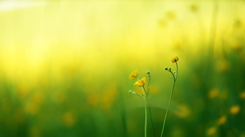 green grass yellow flower plants nature