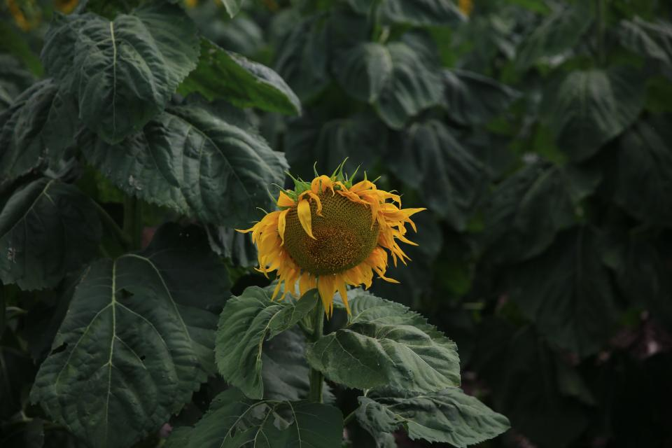 sunflower yellow petal field farm garden nature plant green leaf outdoor