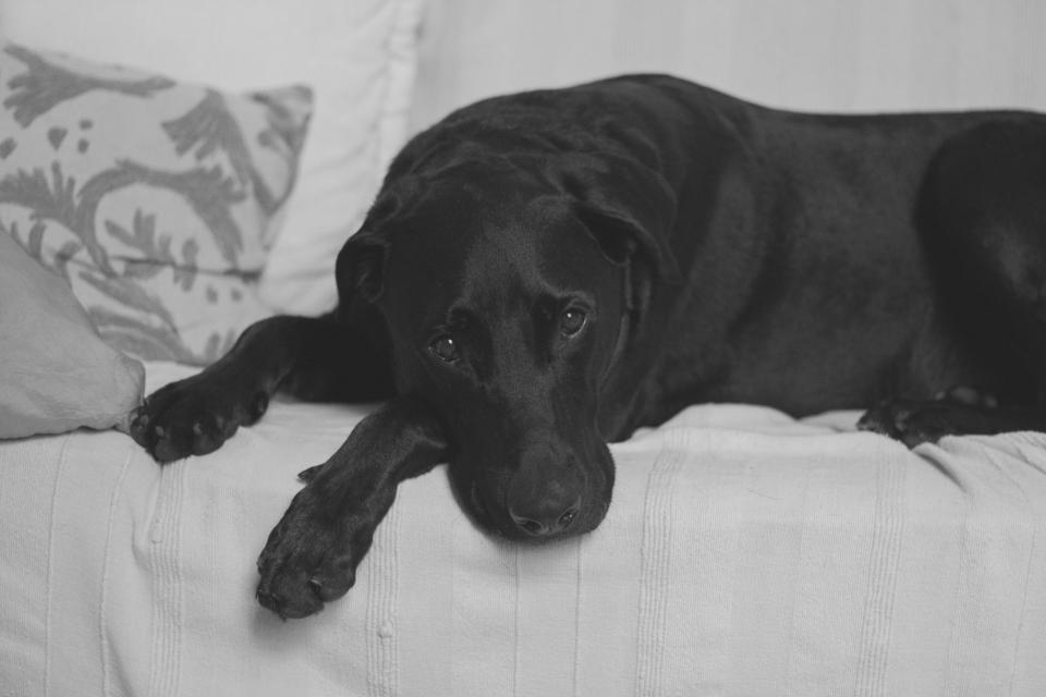black dog pet animal puppy couch sofa black and white