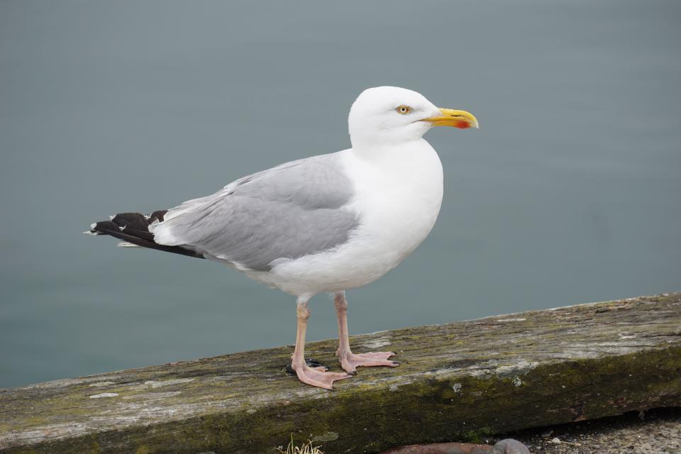 seagull bird animal seashore water wood