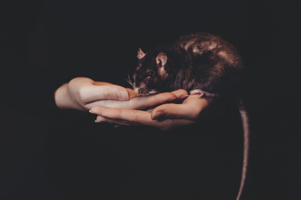 dark rat mouse animal hand palm