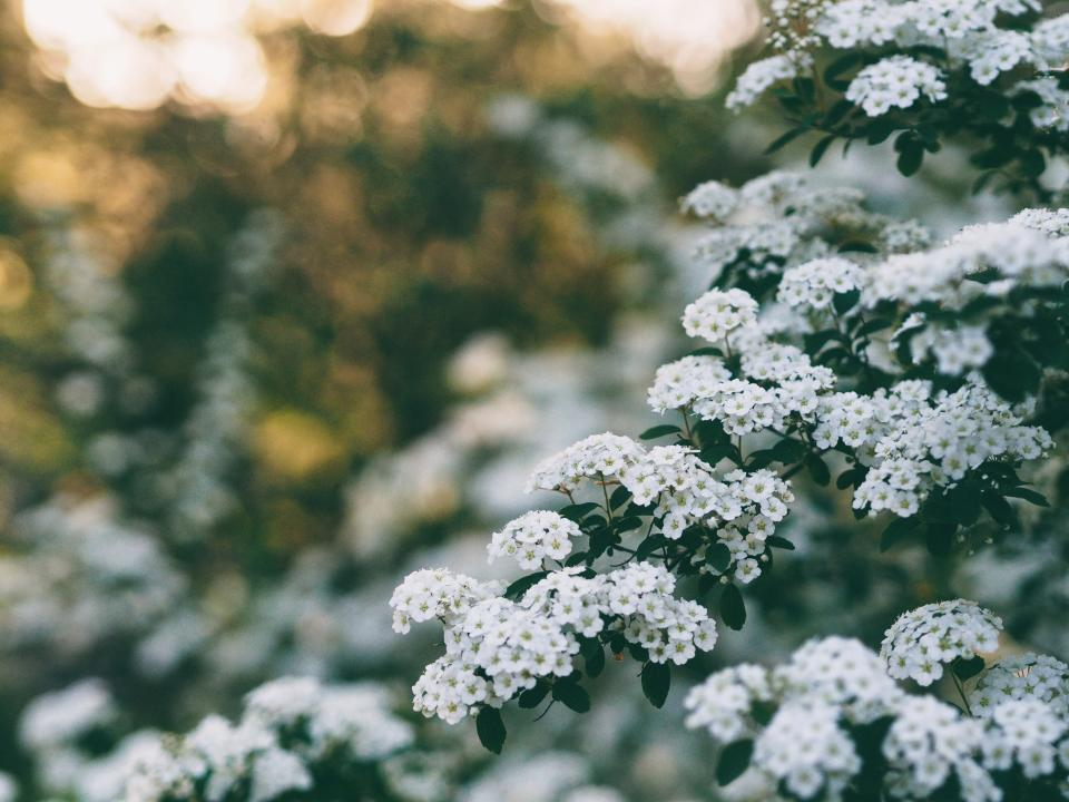 white flower tree plant nature blur garden