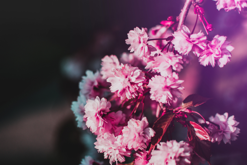 cherry blossom flower summer pink flora fauna pretty