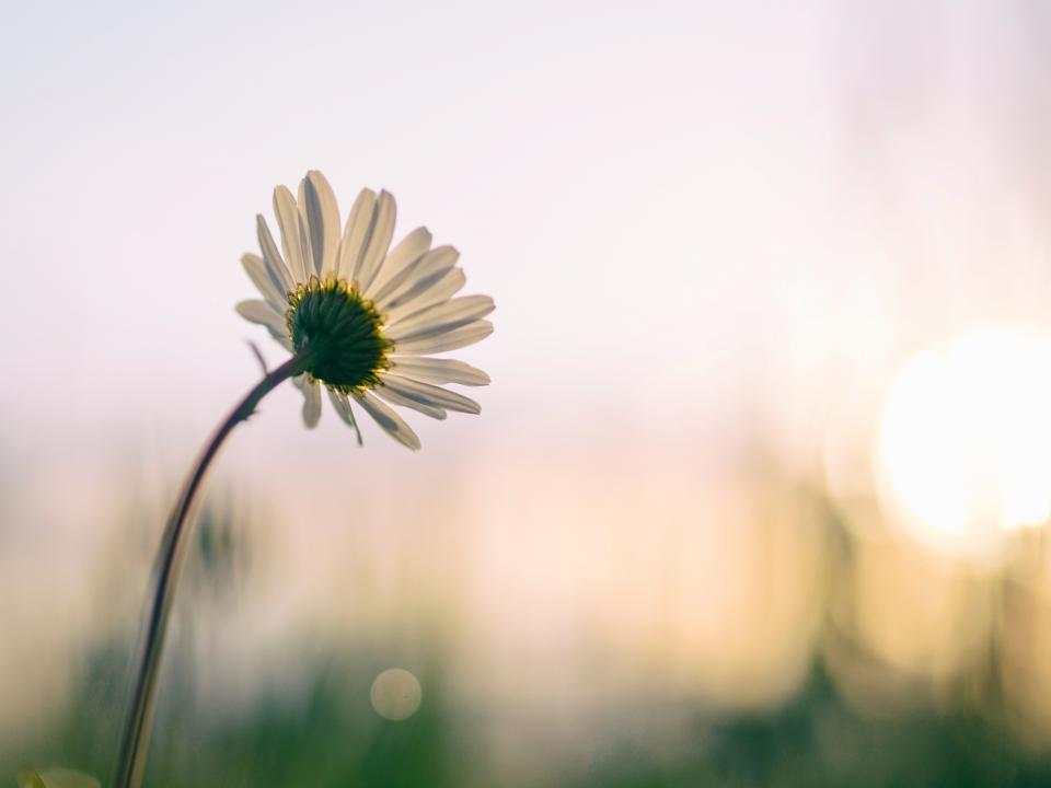 white flower bloom blossoms nature plant blur daisy