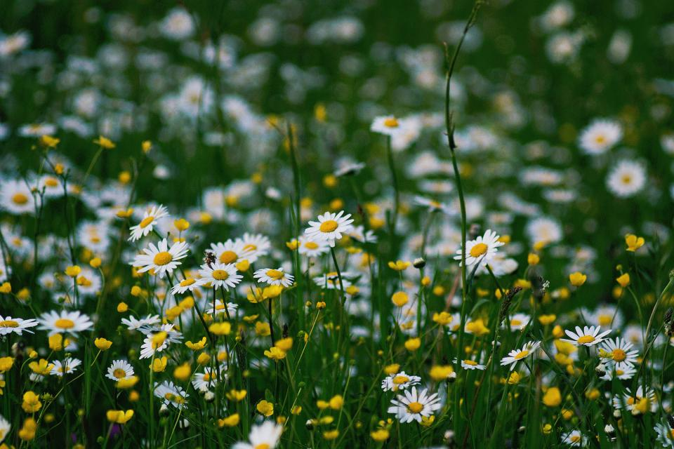 nature daisies flowers yellow white green