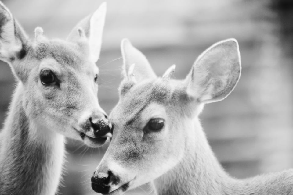 black and white deer animal wildlife