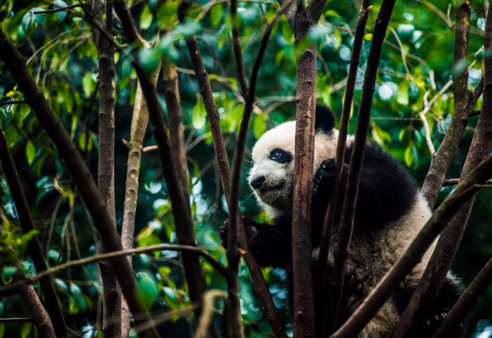 Asia China forest panda animal cute mammal travel culture earth endangered endangered animals