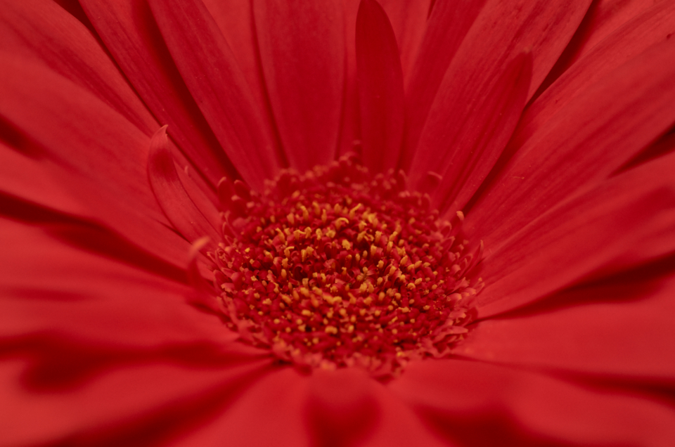 red flower macro close up nature outdoors garden fresh petals pollen bloom blossom botany plants vegetation pretty beautiful wallpaper natural organic