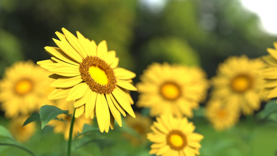 flowers nature blossoms branches stems stalk yellow sunflowers petals leaves bed field outdoors bokeh