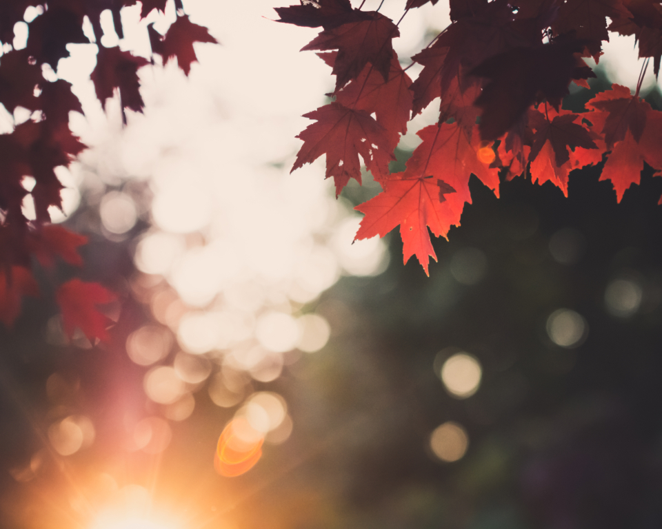 autumn leaves sunset scene forest leaf vibrant outdoor nature bokeh sunlight fall seasonal sky maple branch
