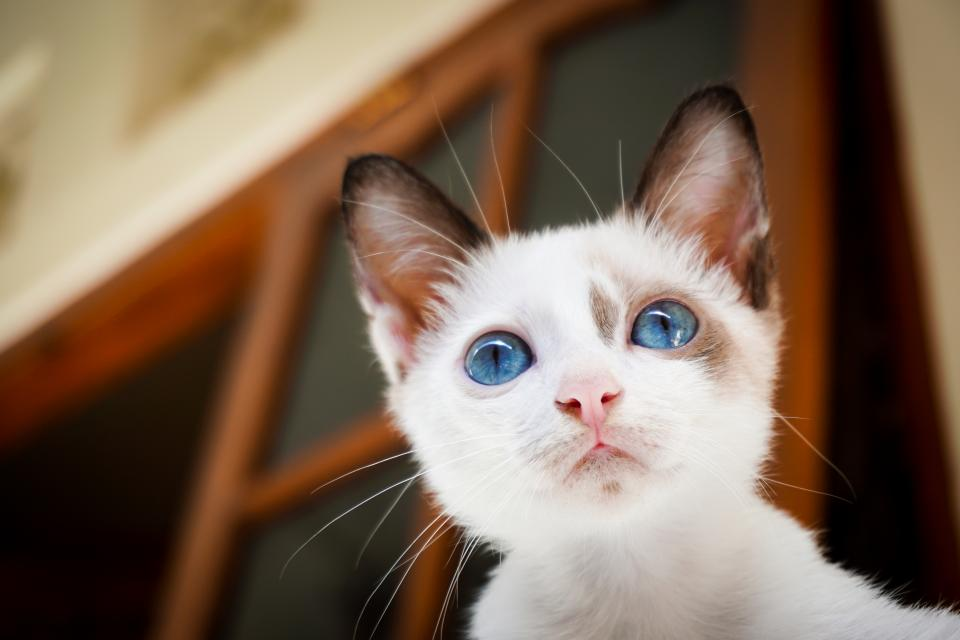 house cat white blue eyes animal pet mammal nature