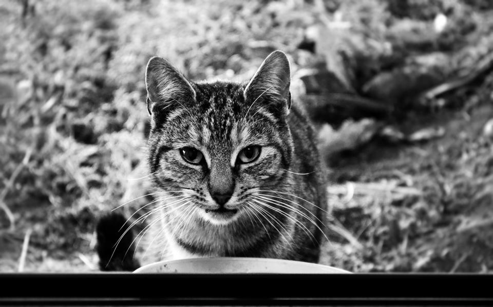 cat whiskers animals black and white