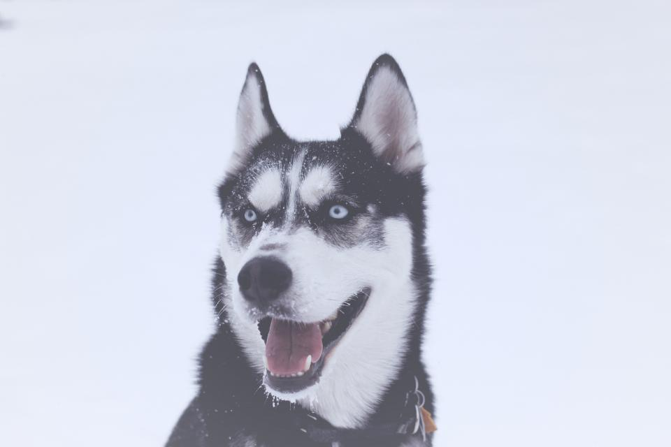 snow winter white cold weather ice dog animal tongue eyes husky pet