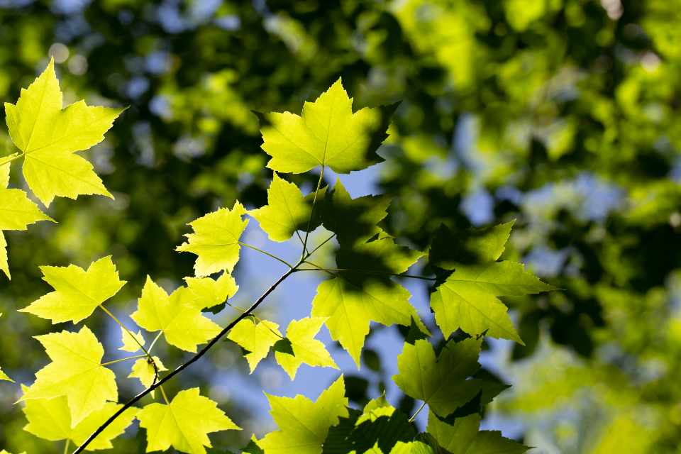 leaf pattern texture plant leaves green growth nature organic outdoors natural sky light sunlight bokeh maple trees