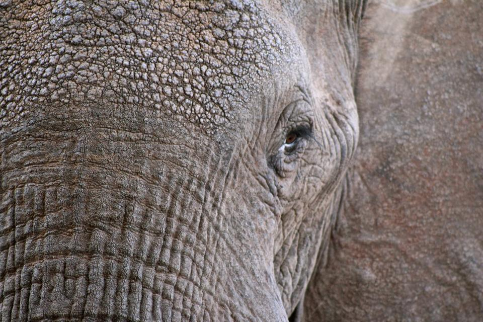 elephant animal wildlife close up eyes trunk skin