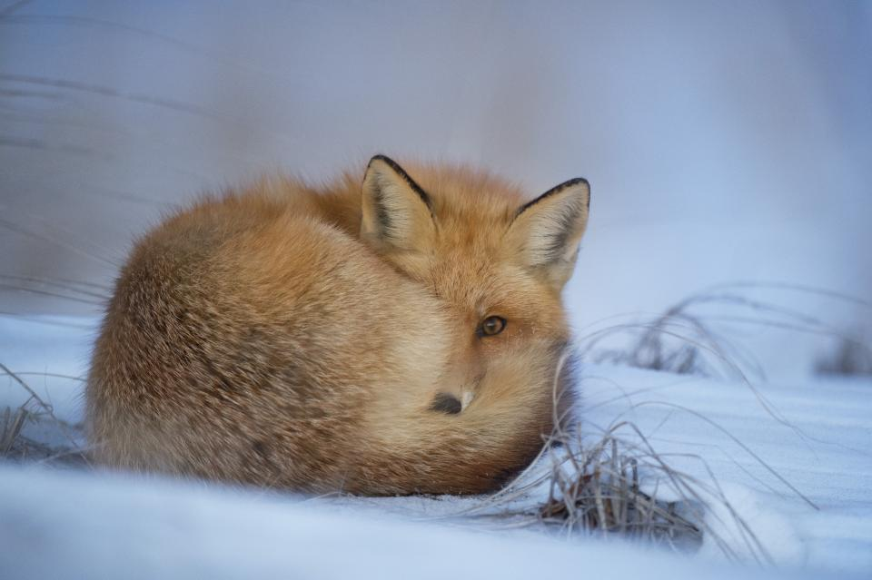animals foxes fur majestic beautiful stare snow grass still bokeh