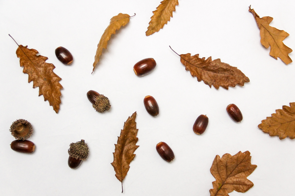 acorns leaves flat lay