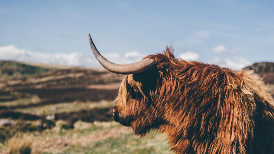 Free stock photo of animal cattle