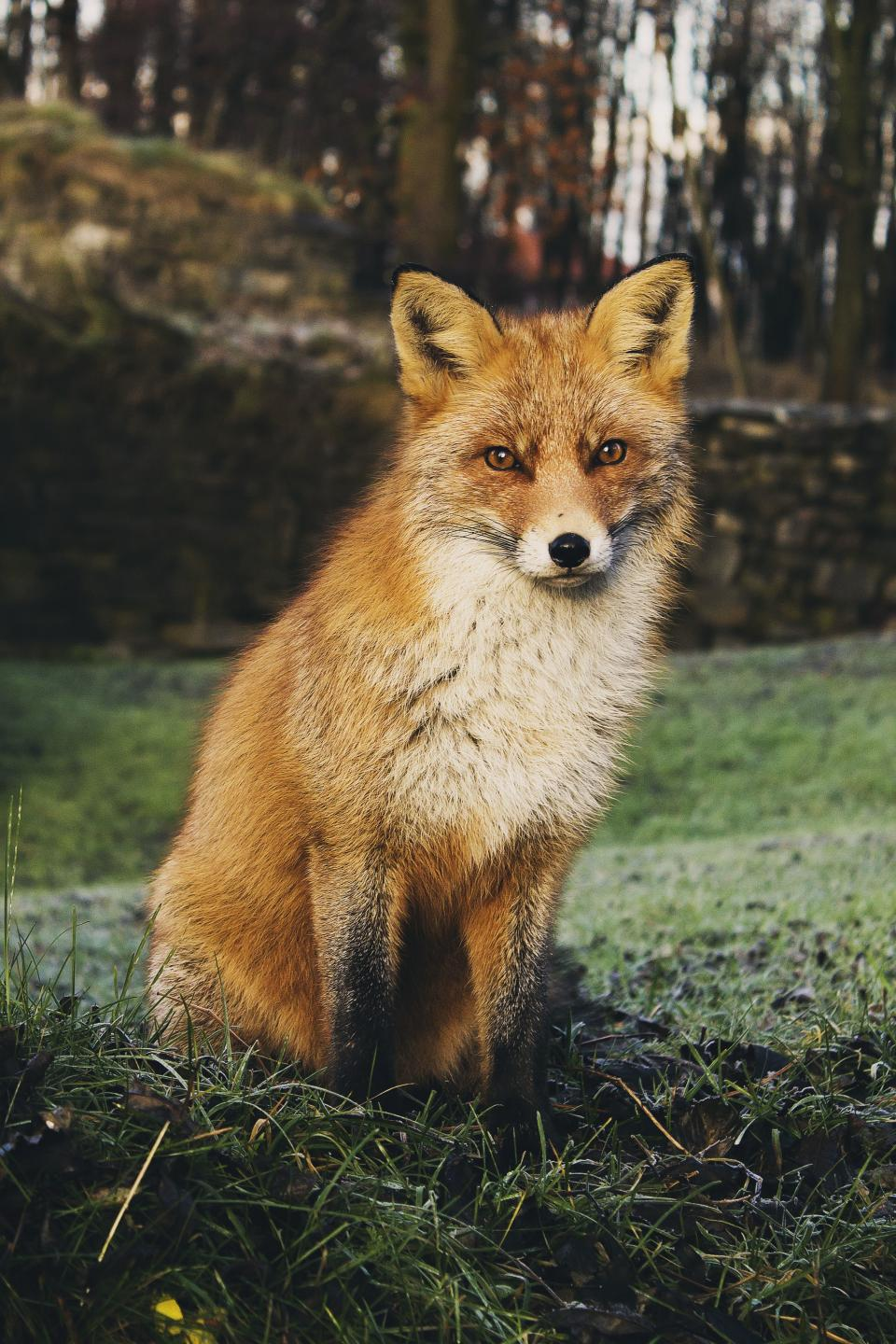 animals wildlife fox