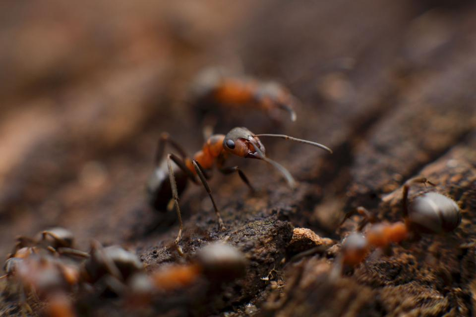 ant insect macro