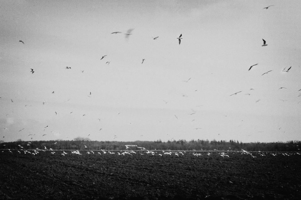 birds flying fields