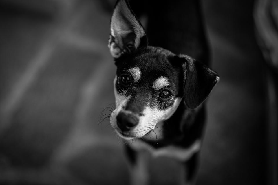 black and white dog pet