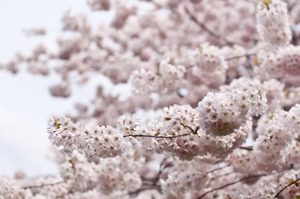 blossoms flowers trees