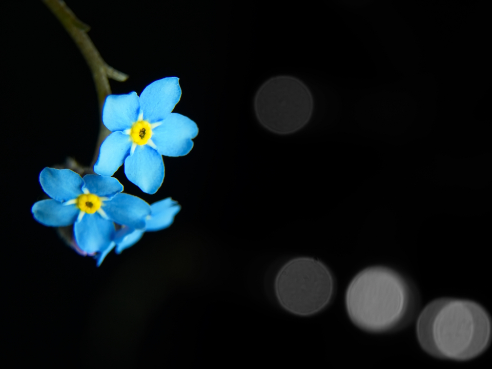 Free stock photo of blue flower
