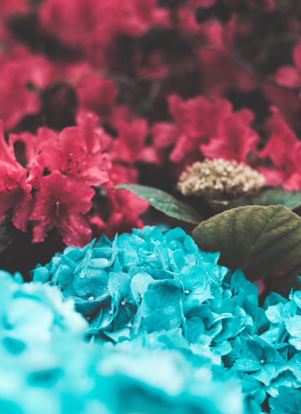 blue pink flowers