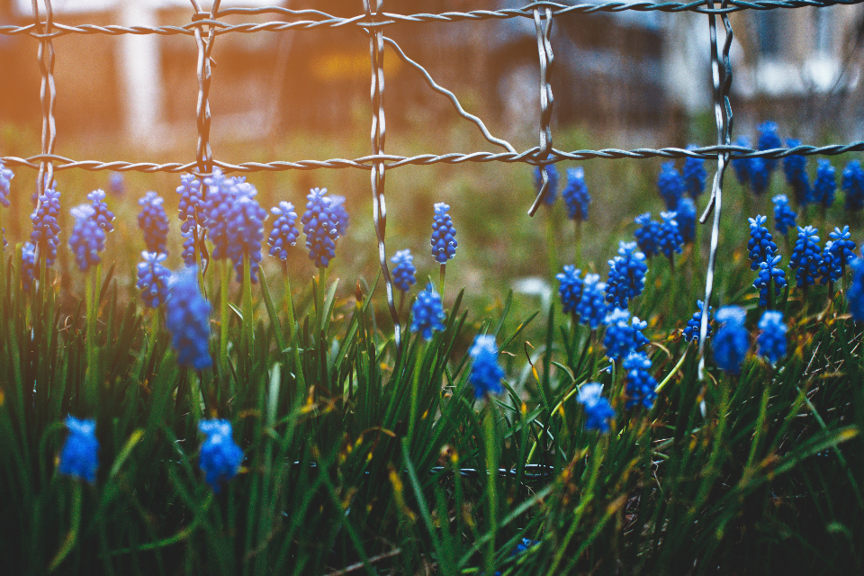 blue wildflower fence