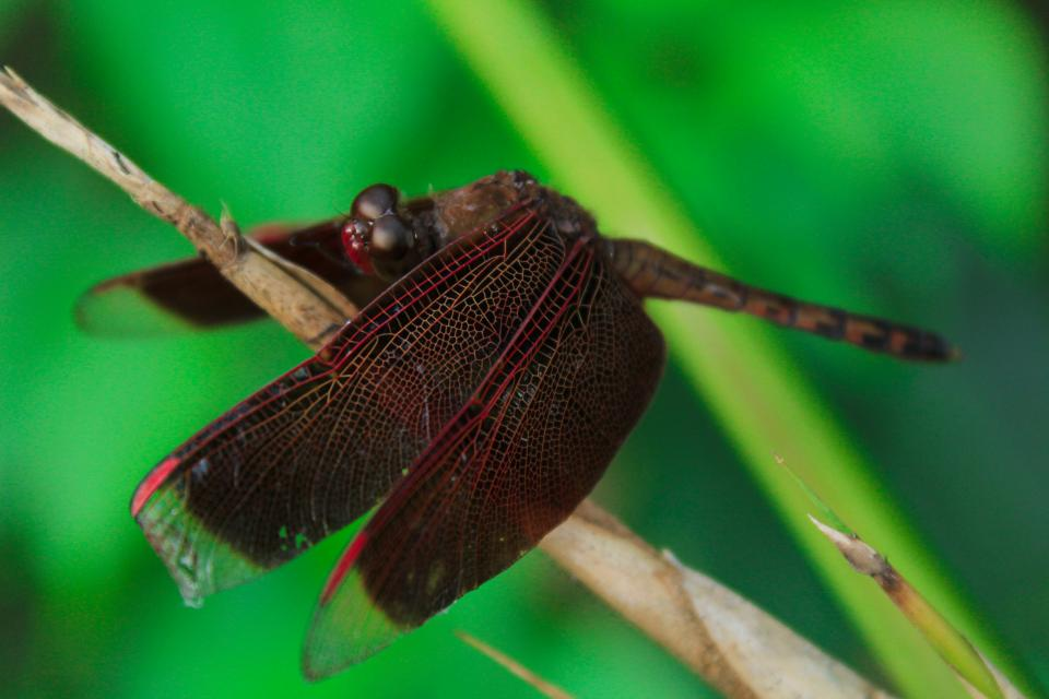 brown dragonfly insect