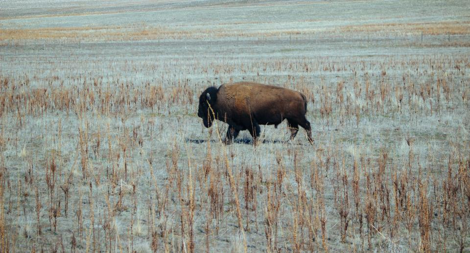 buffalo animal grass