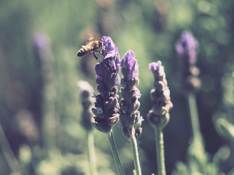 bumble bee lavender summer