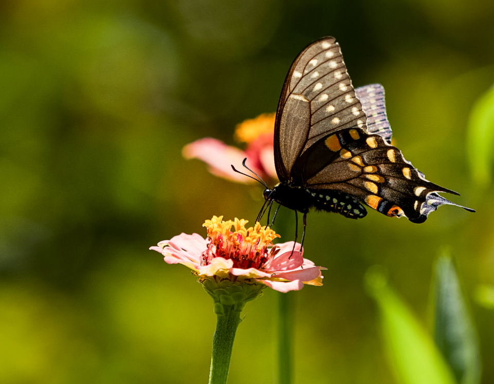 Free stock photo of butterfly insect