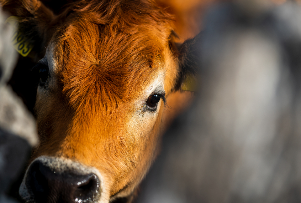 Free stock photo of calf cow