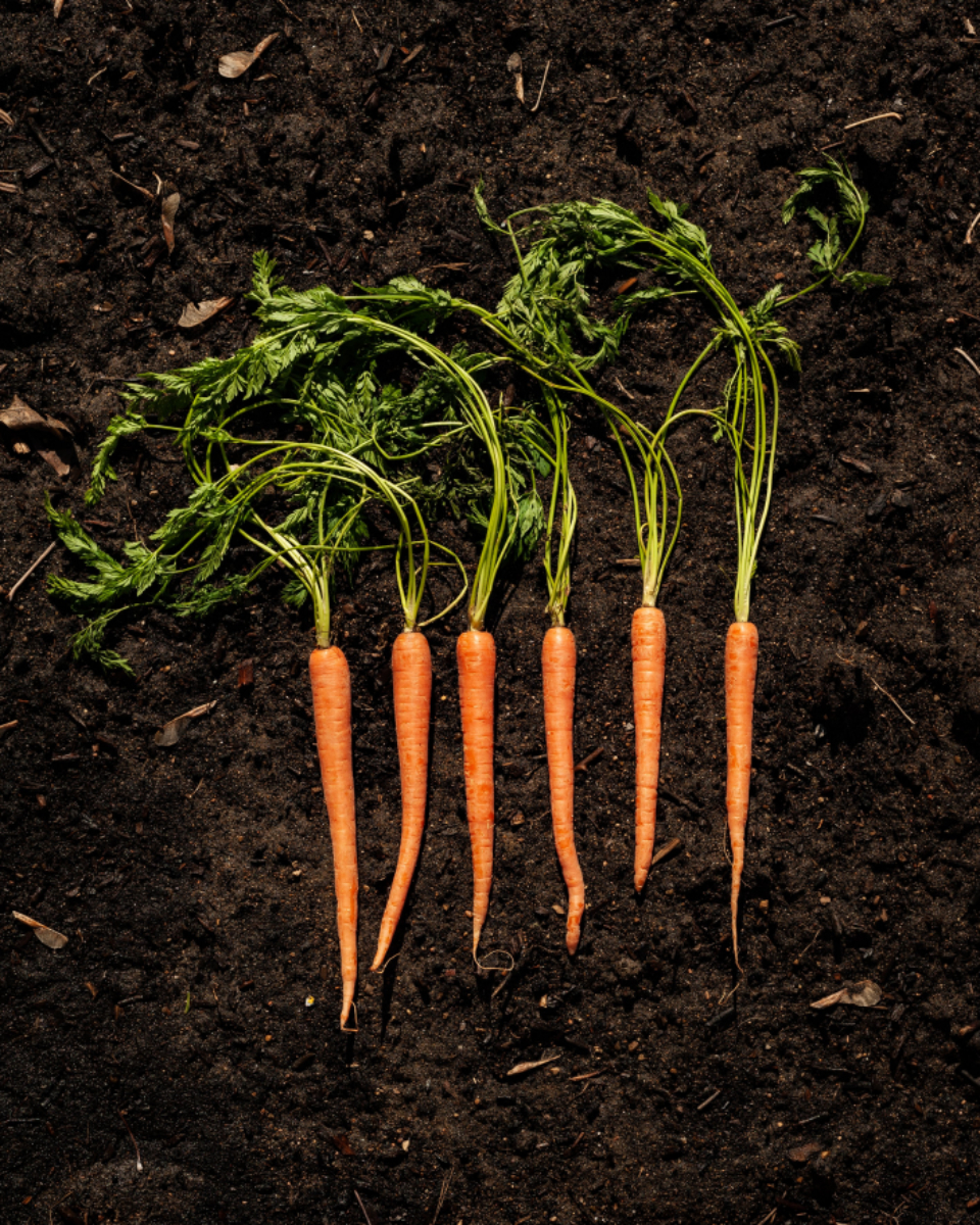 Free stock photo of carrots soil