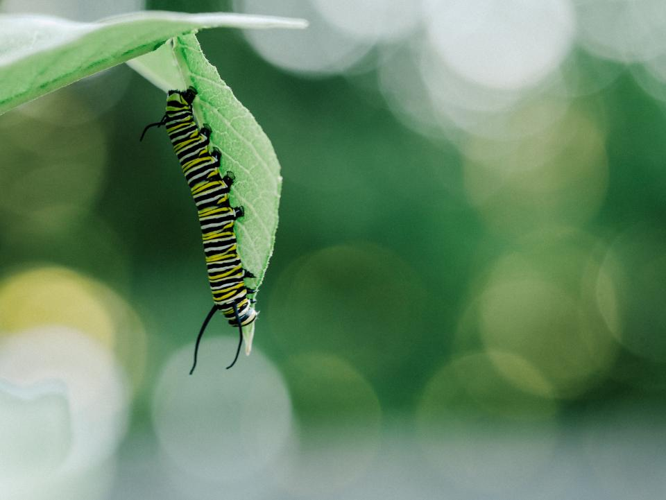 caterpillar insects green