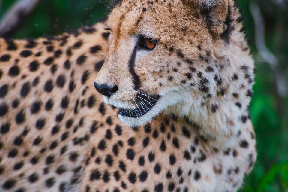 cheetah animal wildlife