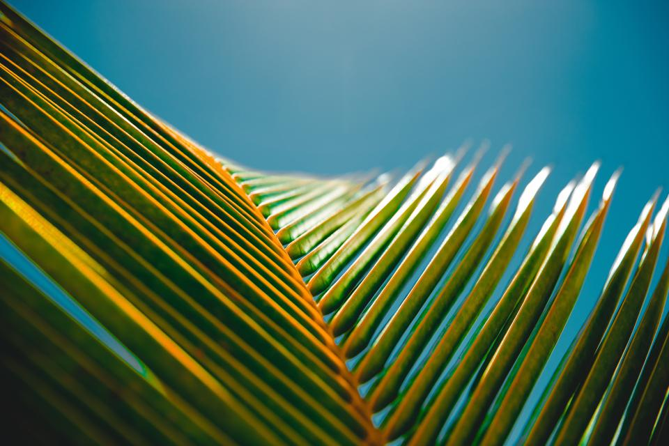coconut tree leaf