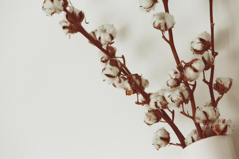 Free stock photo of cotton flowers
