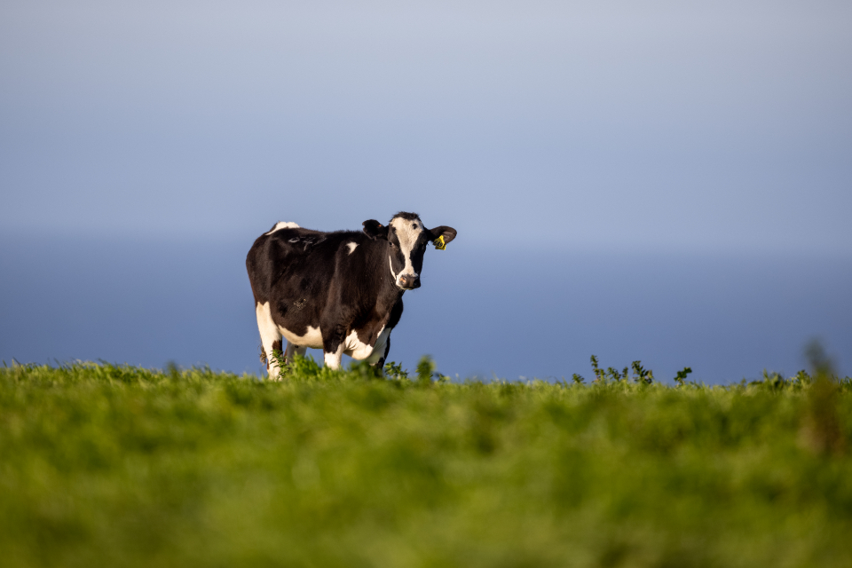 Free stock photo of cow cattle