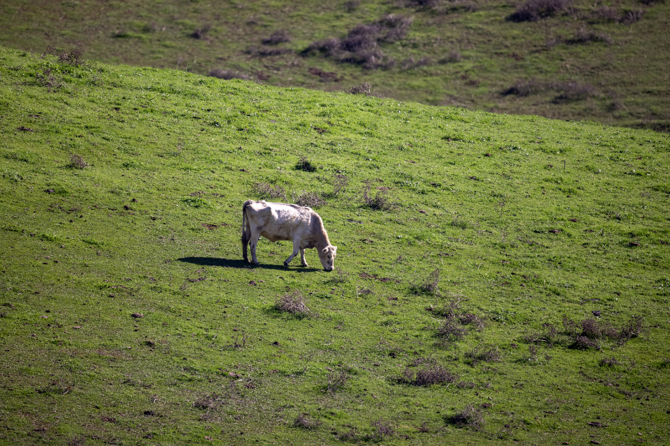 Free stock photo of cow field
