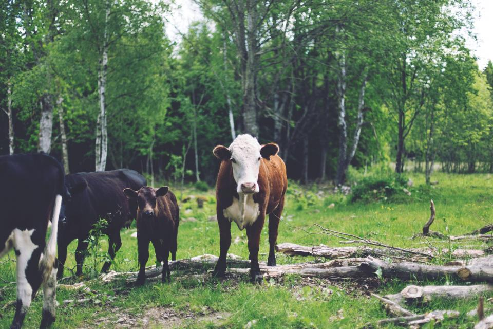 Free stock photo of cows animals