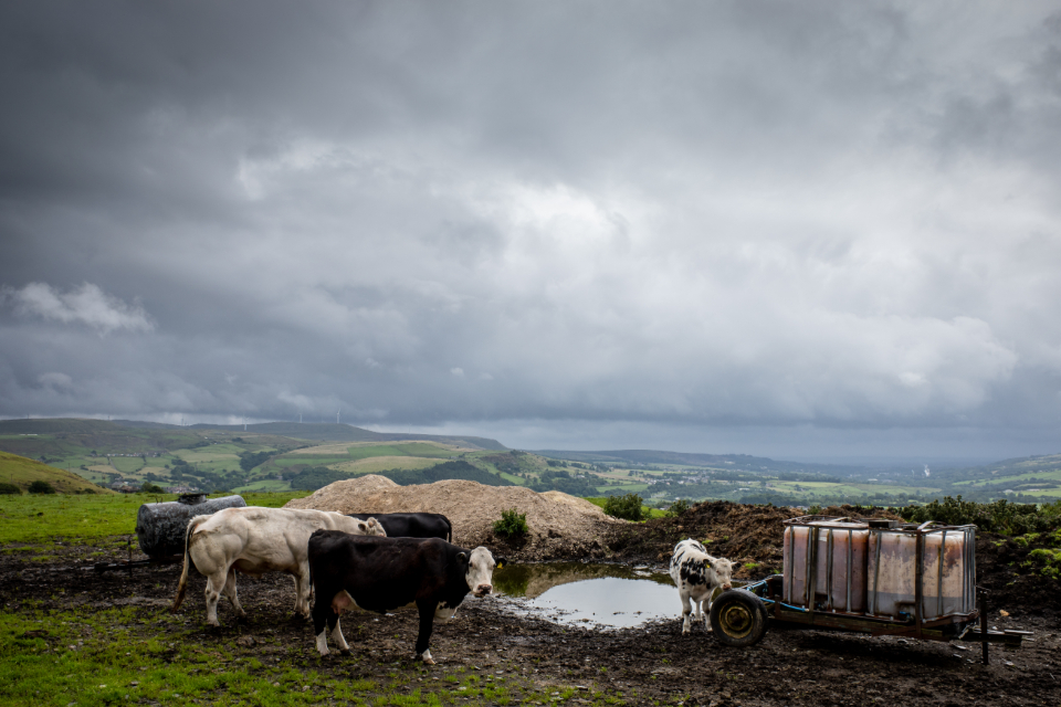 Free stock photo of cows field