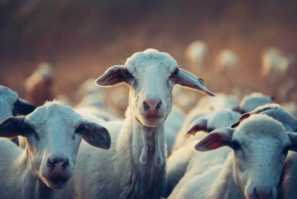 Free stock photo of curious goat